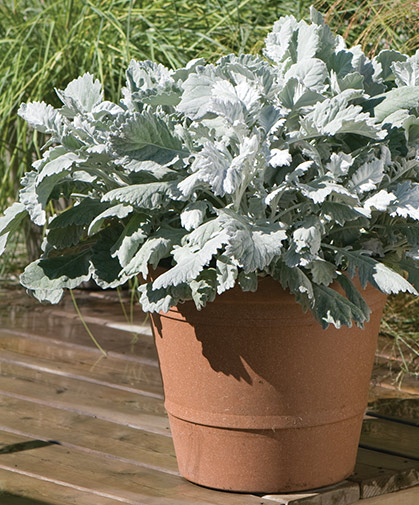 Container planting of dusty miller, also suitable for borders as well as foliage and filler in floral designs.