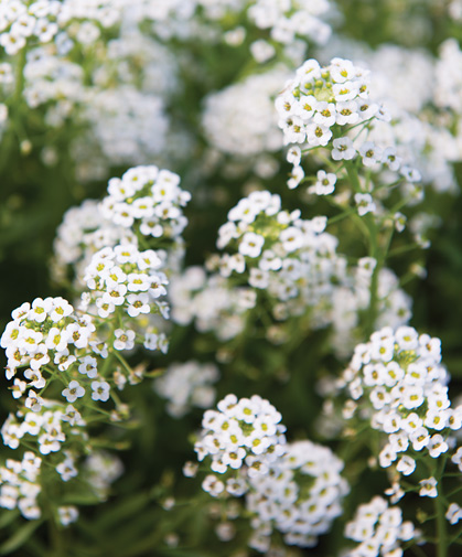 Sweet alyssum flowers, an excellent food source for beneficial pollinators.