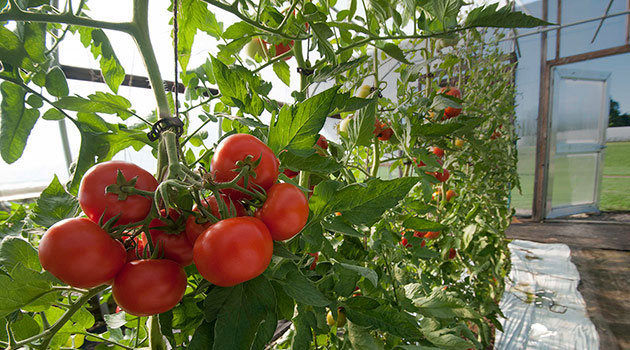 Trellising Amp Crop Support Systems For Tomatoes Stake