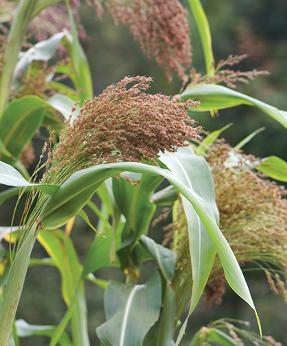 Ornamental broom corn, which provides a useful filler or background item in fall harvest displays.