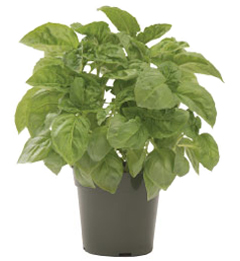 Container-grown Nufar Basil Plant