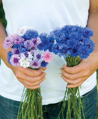 Bouquets of centaurea, commonly known as bachelor's button or cornflower, in blue, pink, and purple hues.