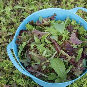 Bulk Lettuce Mix Seed