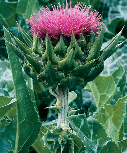Flower stalk of the tall, thorny milk thistle plant, a biennial in many growing zones, that is, flowering in its second season.