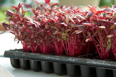 Sow Microgreens at appropriate density, cover, & water in