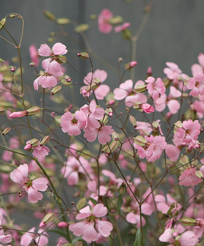 Saponaria flowers; this crop prefers sandy soil and good drainage; partial shade or bright filtered light to sunny locations.