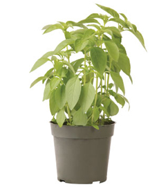 Container-grown Lime Basil Plant