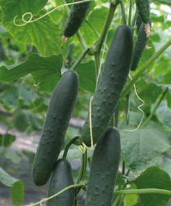 Corinto Cucumber
