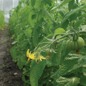 How to Grow Greenhouse Tomatoes