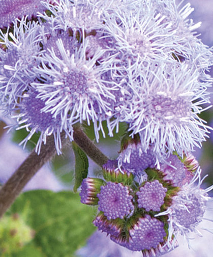 Close-up of ageratum inflorescence, showing fully and partially open blooms.