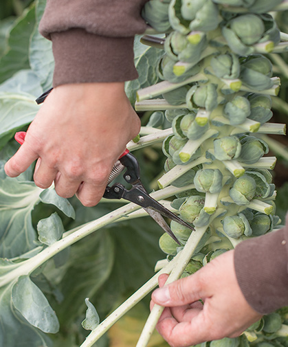 Lauren Giroux, Director of Product Selection and Trialing, prepares a stalk of Brussels sprouts for harvest.