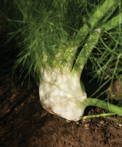With its crisp, white, and flavorful layers, this large, thick, rounded fennel bulb is ready to harvest.