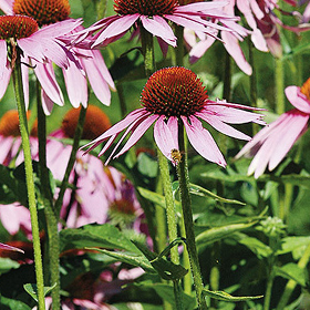 How to Grow Echinacea