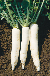 Summer Cross No. 3 Daikon