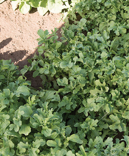A patch of arugula from above, showing the three-dimensional, rounded-oakleaf shape of the leaves.