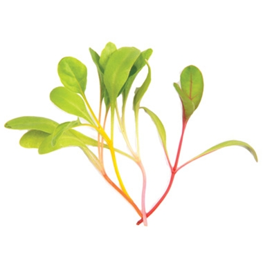 Bright Lights Swiss Chard Microgreens