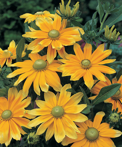A cultivar of rudbeckia with gorgeous green eyes, rather than the traditional black of the black-eyed susans.