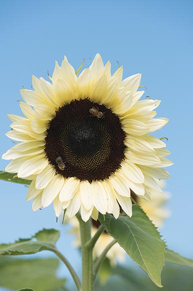 ProCut White Nite Sunflower.