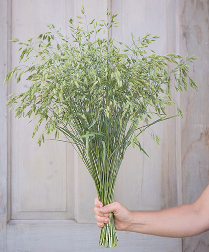 A bouquet of 'Bromus Grass' (Bromus secalinus), grown for its ornamental value.