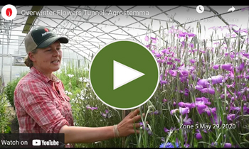 View Our Overwinter Flower Tunnel Agrostemma Video