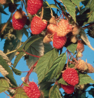 Caroline Raspberry Plants