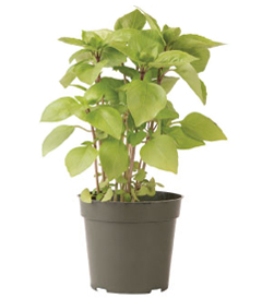 Container-grown Cardinal Basil Plant