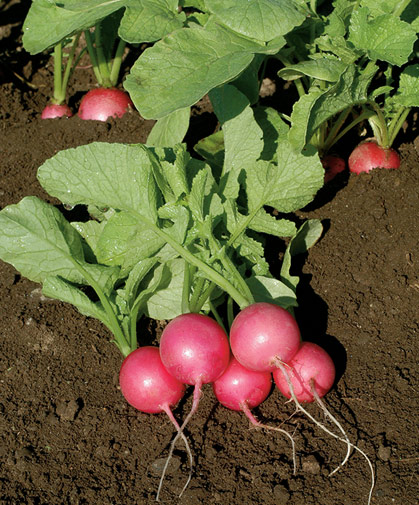 Bunch of freshly harvested radishes of a uniformly round, pastel pink type, with medium-sized tops.