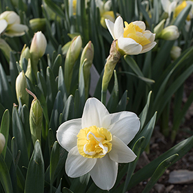 How to Grow Narcissus (Daffodils)