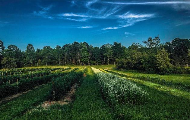 Living mulch: buckwheat interplanted with tomatoes, (c) Eero Ruuttila