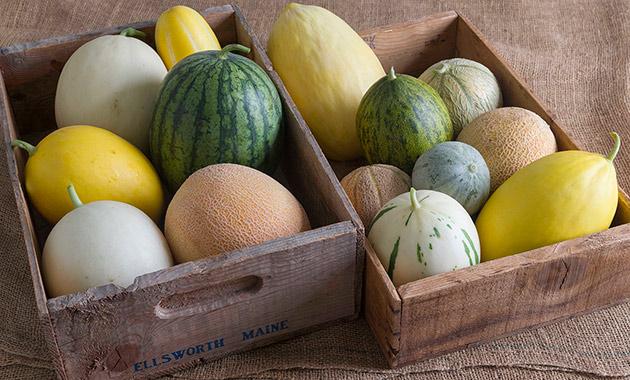 Melon Growing Basics