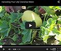 Lilly Crenshaw Melon