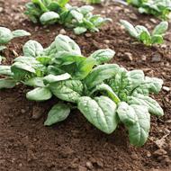 Acadia Organic Spinach
