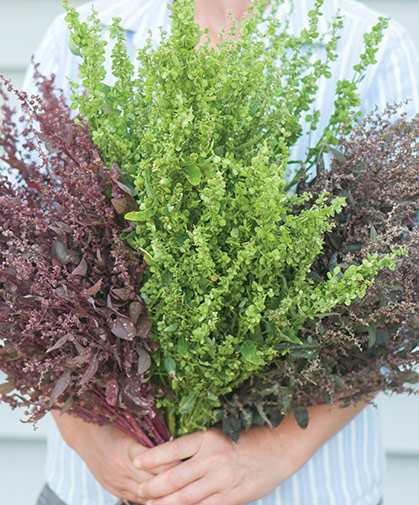 An armful of three ornamental varieties of Atriplex hortensis, a shimmery, easy-to-grow filler for flower arrangements.