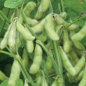 How to Grow Soybeans