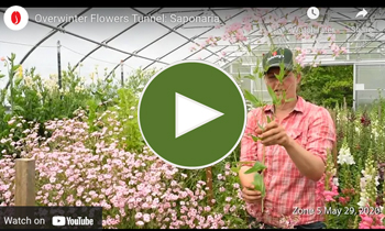 View Our Overwinter Flower Tunnel Saponaria Video