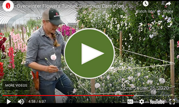 View Our Overwinter Flower Tunnel Dianthus/Carnation  Video