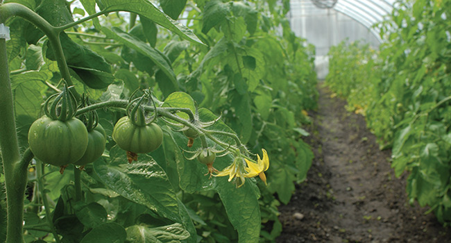 High tunnel tomatoes on the truss