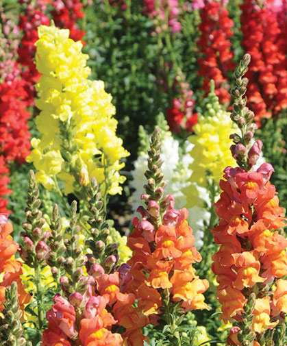 Planting of the 'Potomac Mix' in our snapdragon trials, including all four subgroups.