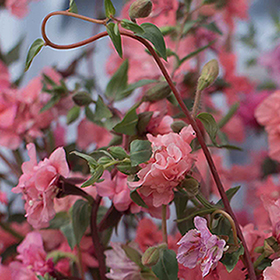 How to Grow Clarkia