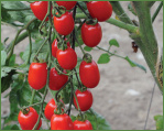 Johnny's Grape Tomatoes