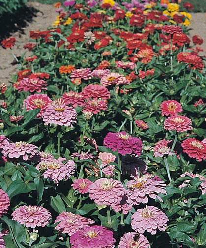 A row of several zinnia varieties in our recent trials, from which we selected the top-performing cultivars.