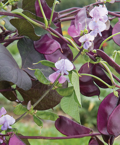 Hyacinth bean, with its bluish-purple flowers and red-violet pods, is an ornamental and forage crop.