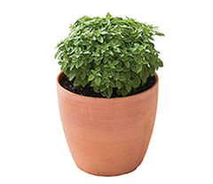 Pluto Greek Basil
