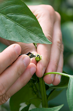 Preparing to hand pollinate pepper flower