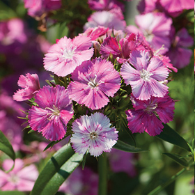 How to Grow Dianthus (Sweet William & Carnations)