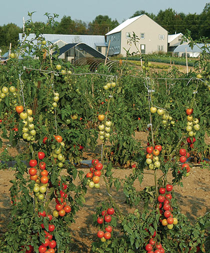 A stand of indeterminate tomatoes being grown using a stake-&-wire trellis / hanging-string system.