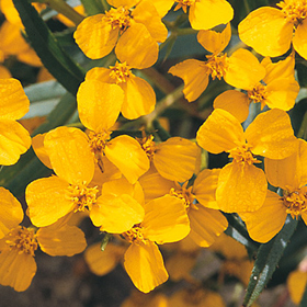 How to Grow Mexican Mint Marigold