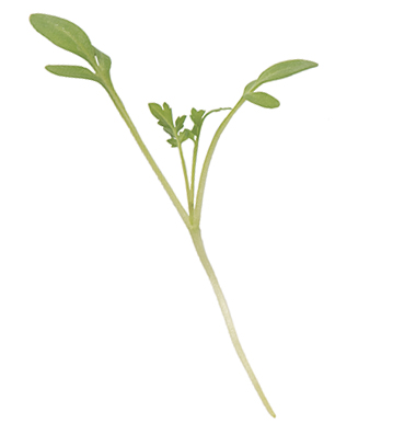 Cressida Cress Microgreens