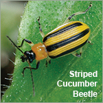 Controls can be combined for treating European Corn Borer or Cucumber Beetles