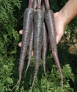 Deep Purple Carrots